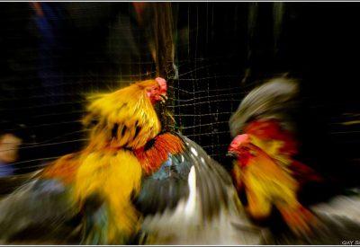 Situs Sabung Ayam S128